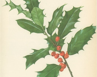 Vintage Tree Print, Common English Holly, Botanical  Book Plate 115, country Cottage Chic, Nature, Landscape, Frameable Art, 1969, Choc