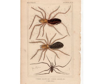 1837 SPIDERS SPIDER PRINT original antique arachnid lithograph  no. 2