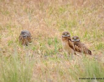 Owl Photography, Bird Photography, Animal Photography, Burrowing Owl, Owl Babies, Wildlife Photography Fine Art Photo