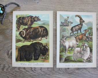 2 Antique 1880 Animal Prints from Mammalia by Henry J. Johnson Ungulata