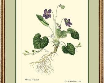 WOOD VIOLET - Vintage Botanical print reproduction - 224