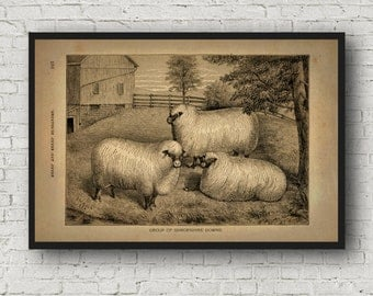 Primative Shropshire Down Sheep Finish Choice Repro Poster Print Photo Paper Sizes 6x9 to 16x24