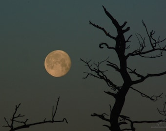 Ancient Ones, December Full Moon photo, moon phase photograph, early morning sky picture, oak tree branch sillhouette, golden moon, moonset,