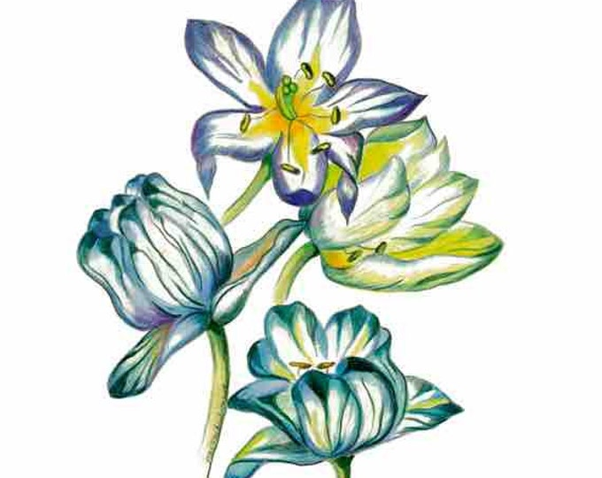 Blue Tulips, LIMITED EDITION, Tulips, Liliales, Indio Tulips, Print of Pencil Drawing, Tulips hyacintho, Detailed Print, indicum Indigo