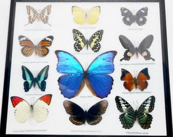 REAL 12 Mix Butterflies Framed for Sale Wall Decor Collectible Specimen Display Insect Taxidermy Extra BLUE MORPHO Didius /B03E