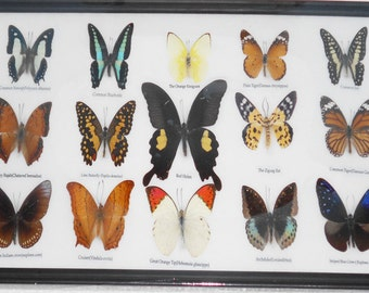 REAL 15 BEAUTIFUL BUTTERFLIES Collection in Frame/BF17Q