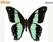 10% OFF SALE Real Papilio Nireus Folded Green Banded Swallowtail Butterfly