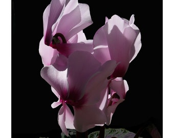 Cyclamen, flower photography, flower art, floral prints, mauve flowers, flower prints, artistic flower prints, botanical pictures,
