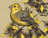Yellowhammer on a Gorse Bush - Mounted Print