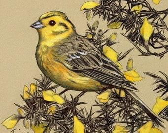 Yellowhammer on a Gorse Bush - Mounted Print