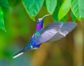 Hummingbird--The Hummers No.9