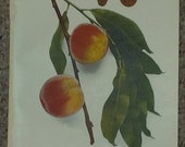 Vintage early 20th century Lithograph CANADA PEACHES book illustration