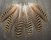 6 Brown & Tan Peacock Wing Feathers ~ Cruelty Free