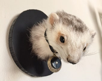 Honored Ferret Taxidermy Shoulder Mount