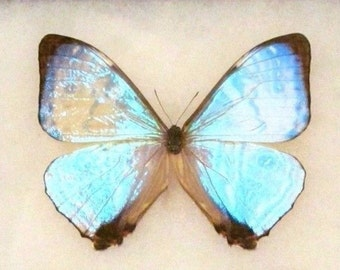 ONE Real Butterfly Wings Closed Blue Peruvian Morpho Sulkowski Mother of Pearl Unmounted Insect Artwork Wholesale