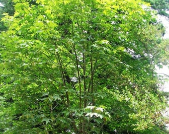 Bigleaf Maple Tree Seeds, Acer macrophyllum - 25 Seeds