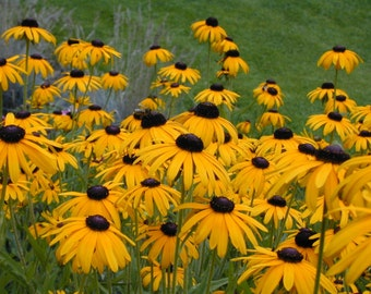 Black Eyed Susan Seeds - 1 lb.