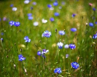 Mt. Diablo, California, Cornflowers, blue, purple, wildflowers, green grass, clouds, bright, abstract art, photo, picture, print, fine art