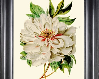 Peony Print 3 Botanical Flower 8x10 Art Beautiful Antique Large White Spring Summer Garden Plant Illustration to Frame Home Room Wall Decor