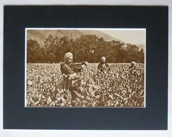 1920s Antique Print of Antolian Poppy Pickers, Available Framed, Opium Art, Turkish Decor, Old Heroin Poppies Gift, Asia Minor, Asian Turkey