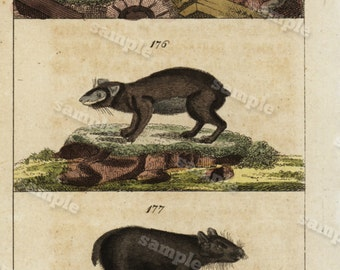 1817 Antique Original Hand colored Engraving  Of Animals -  Natural history- Rats Tobias Wilhelm Over 200+ Years old