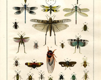 Unique original hand colored print of insects dragonflies  dates from 1840 large print natural history