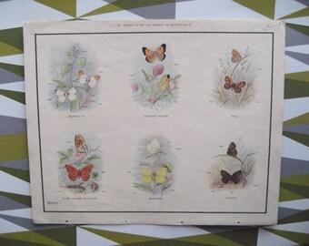 Vintage Macmillan Educational Print - Butterflies - 1950's 60's - Entomology - A3 Size