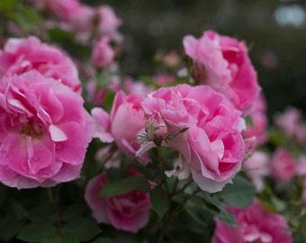 Roses, Rose Kennedy Rose Garden, Boston Roses, Rose Kennedy Rose Garden Long Wharf