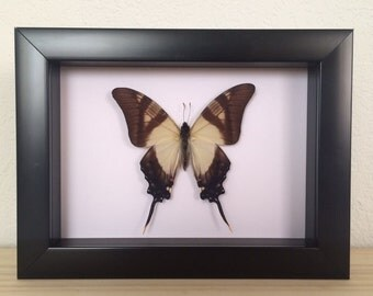 Real Butterfly // Eurytides serville // Taxidermy Butterfly // Framed Butterflies // Dried Butterflies