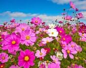 75 - Heirloom Cosmos Seeds - Farm Mix - Heirloom Flower Seeds, Mixed Cosmos Seeds, Non-gmo Flower Seeds, Annual Flower Seeds, Non-gmo Seeds