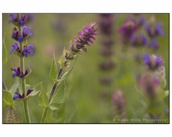 Purple Lavender, Macro photography, Fine Art print, Ready to frame, Australian, Wall hanging, Garden, Flowers, Lavender, Purple