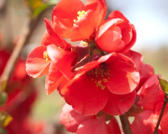 Photographic Print Quince - Red Flower Photo - Flower Photo - Macro Photo - Floral Photo - Nature Photo - Unframed Photographic Print