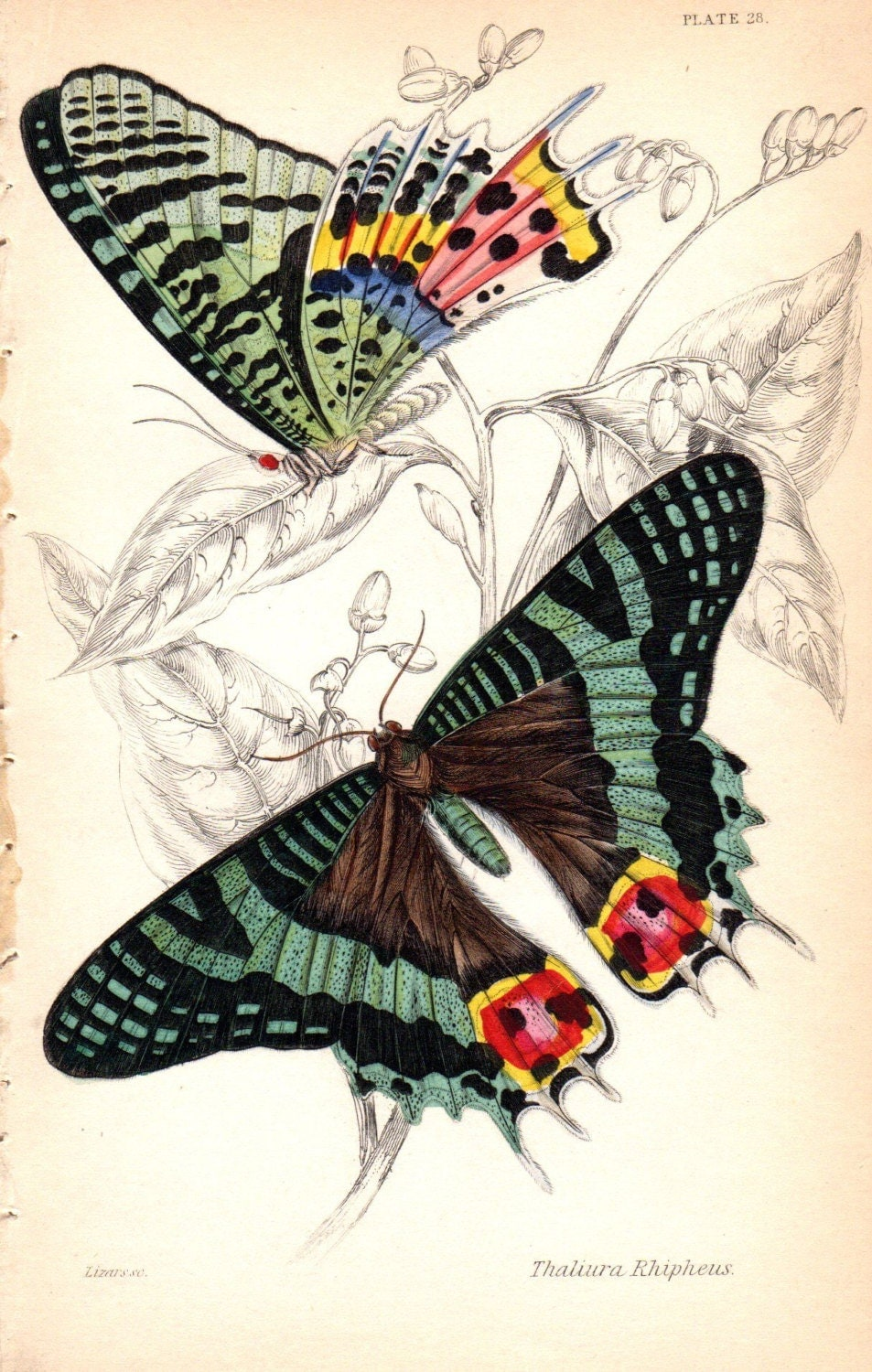 Custom Matted 1833 Antique Butterfly Print Butterflies