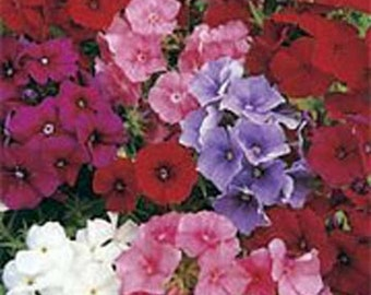 Phlox-  Mix colors - 200 seeds