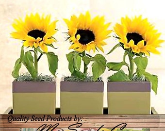 DWARF SUNSPOT Sun Spot Sunflower seeds - HUGE 10 Inch Blooms - Only 2 Feet Tall With Extended Bloom