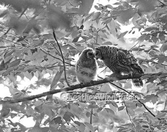 Barred Owl Photo | Two Owls | Black and White Nature Photography | Mother and Young Owlet | Love Birds | Two Kissing Owls | Raptor Art Print