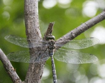 Majestic Dragonfly Photography Fine Art Print