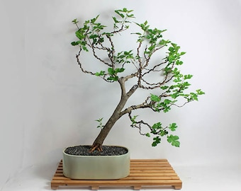 "Mulberry Bonsai tree ""Summer'16 Fruiting Collection"" by Live Bonsai Tree"""