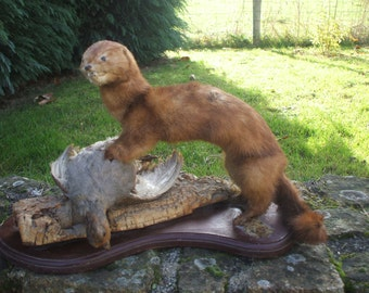 Vintage Taxidermy mink with a partridge