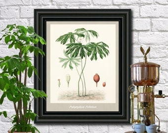 Mayapple Botanical Print Vintage Mayapplea Illustration Kitchen Wall Art Poster  0456
