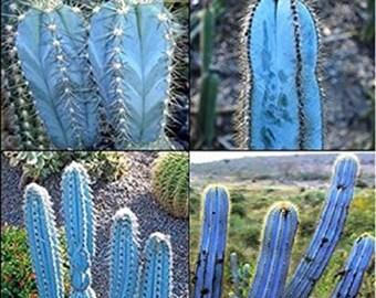 Pilosocereus Magnificus * Amazing Blue Sky Cactus * Rare * 5 Seeds * Limited *