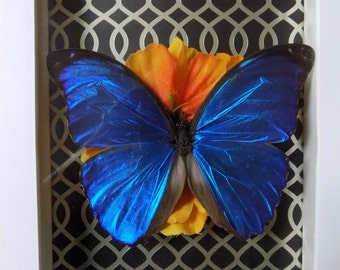 Beautiful Blue Morpho Butterfly Shadowbox display