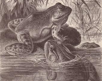 American bullfrog original 1880 zoology print - Frogs, wall decor, art print - 136 years old German antique engraving illustration (C123)