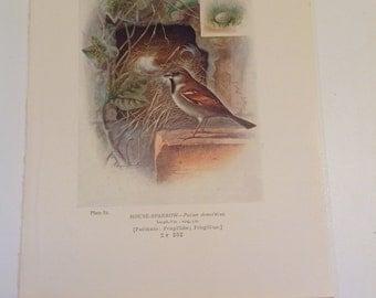 House Sparrow Antique Bird Print Plate 82