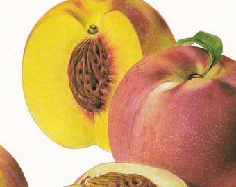 Fruit print peach varieties prunus vintage Botanical Print by Marilena Pistoia kitchen decor gardening gift 8 x 11.25 inches