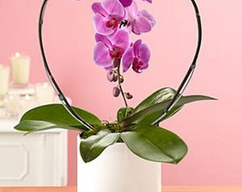 Fresh Orchid Phalaenopsis. We DELIVER LOCALLY to zip: 33160, 33180, 33179, 33162, 33181, 33154, 33004, 33009, 33019, 33020, 33021, 33140