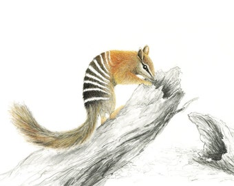 Numbat - A4 art print from a natural history painting of an Australian animal
