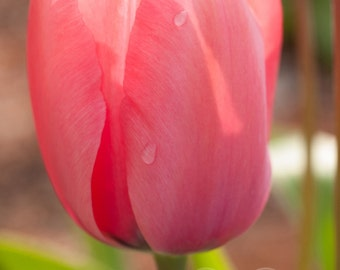 Beautiful Spring Pink Tulip