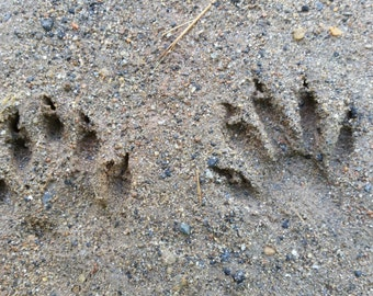 Raccoon paw print