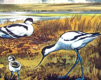 "Avocet Bird - 1962 British Birds and Nests - Vintage Bird Print - Naturalist Print for Framing - 9"" x 7.5"""
